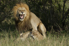 Loving lions couple in Kenya Royalty Free Stock Image
