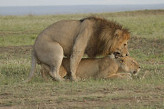 Loving lions couple in Kenya Royalty Free Stock Images
