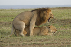 Loving lions couple in Kenya Stock Photography