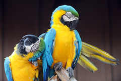 Loving Macaw Royalty Free Stock Photos