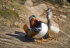 Loving mandarin duck couple Stock Photos