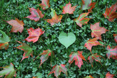 Loving Maple Leaves Royalty Free Stock Photos