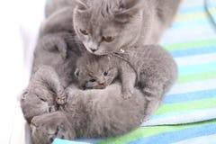 Loving mother cat, British Shorthair portrait Stock Image