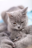 Loving mother cat, British Shorthair portrait Royalty Free Stock Photos