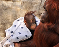 Loving Orangutan Mother. A mother orangutan affectionately swaddling and looking at her baby.  Shallow DOF with focus on baby's eyes Stock Photos