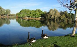 A loving pair of black swans stock image