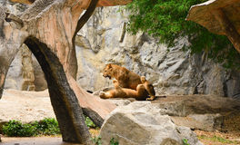 Loving pair of lion and lioness in zoo Royalty Free Stock Photo