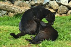 Loving panthers. Hug and lick each other in a zoo Royalty Free Stock Images