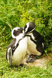 Loving Penguins. A pair of Jackass Penguins grooming Royalty Free Stock Photos