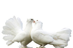 Loving pigeons. Two loving white pigeons isolated Stock Photos