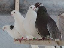 Loving pigeons cooing on the perch royalty free stock image