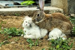 Cat is not very happy with this turn of events. Loving rabbit is spud a white cat. Cat is not very happy with this turn of events royalty free stock image