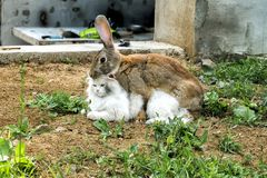 Loving rabbit is spud a white cat. Cat is not very happy with this turn of events royalty free stock photography