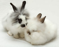 Loving rabbits Stock Images