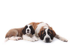 Loving Saint Bernard Puppies Together Stock Photography