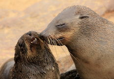 Loving seals Stock Photo