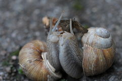 Loving snails Stock Images