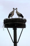 Loving storks. A stork couple is standing in its nest with their  beaks crossed. A symbol of love, relationship, loyalty Stock Image