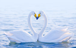 Loving swans Royalty Free Stock Photography
