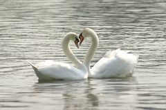 Loving swans Stock Photography