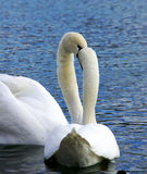 Loving swans Royalty Free Stock Images