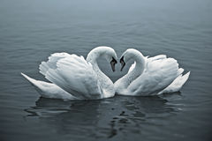 Loving Swans Royalty Free Stock Image