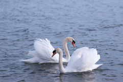 Loving swans. Swans on a lake happily in love Royalty Free Stock Photography