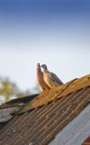 Loving turtle doves Royalty Free Stock Image