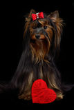 Loving Yorky dog with red heart Stock Image