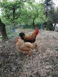 Lovly un couple des poulets photo stock