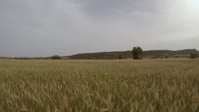 Flying above wheat field stock footage