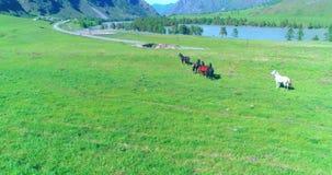 Low altitude orbital flight over wild horses herd at perfect green rural field stock video