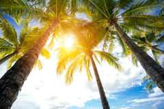 Low angel view of palm trees Royalty Free Stock Photos