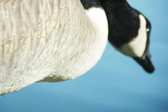 Low angle of a Canada Goose. A low angle of a Canada Goose looking up into a blue sky. Low depth of field, focus is on the feathers in the foreground stock photography