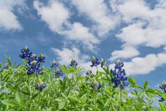 Low angle close-up bluebonnet blossom under cloud blue sky. Low angle close-up bluebonnet blossom against cloud blue sky in Ennis, Texas, USA. Texas state flower stock images