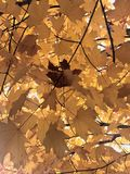 Close up of yellow fall foliage, with single brown maple leaf royalty free stock photo
