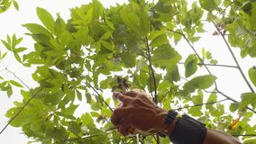 Low Angle Detail Shot Of Hands Cutting A Cocoa Fruit With A Machete. In Ecuador stock video footage