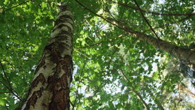 Low-angle dolly shot of a dense birch and maple tree forest. Low-angle dolly shot of a birch and maple tree forest stock video footage