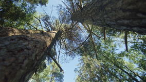 Low-angle dolly shot of a pine tree forest stock video