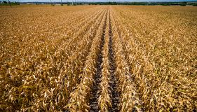 Free Low Angle Drone View Rows And Rows Of Brown Crops Fields Ending Life Summer Time In Texas Drought Royalty Free Stock Photography - 74767747
