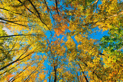 Low Angle Golden Leaves in the Woods Royalty Free Stock Photos