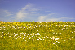 Low angle grass daises buttercups blue sky Stock Photo