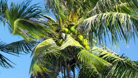 Low angle green coconuts among palm leaves waved by wind. Low angle shot large green coconuts among palm tree leaves waved by wind against bright blue sky stock video