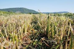 Low Angle Harvested Crop Stock Photos