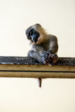 Low angle image of cute but unhappy primate Stock Photography