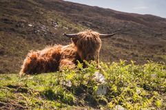 Heelan Coo. A low angle image of a Highland cow lying at the side of the road on the Applecross peninsula, Scotland. 26 May 2016 Stock Image