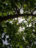 Low angle mulberry tree view. On a sunny day stock images