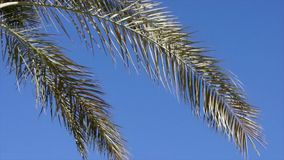 Low-angle palm brunches view against clear sky. On a hot summer windy day stock video