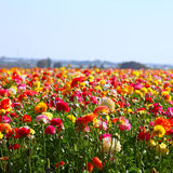Low angle photo of close up photo of field of flowers , image is vintage style filtered. selective focus Royalty Free Stock Images