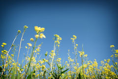 Low angle photo of flowers against crisp blue sky . selective focus Royalty Free Stock Photos